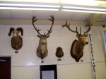 The North American side of Jack Roach Hall has some pretty heads as well - the elk is a personal favorite.