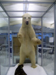 The Polar Bear and the seal that are the centerpiece of the Oceanography Hall.