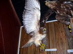 The Red-tailed Hawk - now with a Golden Eagle photobomber.