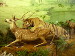 The Bengal Tiger with a Fallow Deer in Jack Roach Hall. The Cheetah and Leopard are behind this tiger.