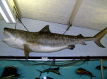 A tiger shark in the Oceanography room. This is a model, not a mount.