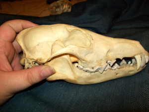 """Ancient"" the coyote skull"